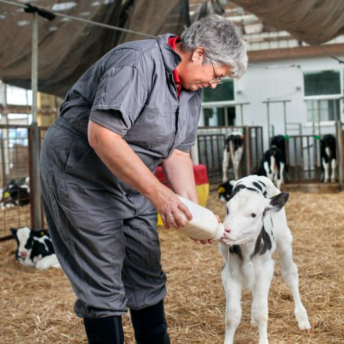 Belinda Thompson, assistant clinical professor in population medicine and diagnostic sciences (PMDS) at the Animal Health Diagnostic Center (AHDC), examines calves.