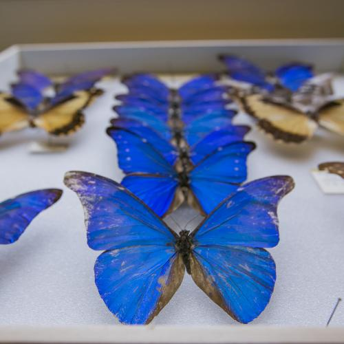 Cornell University Insect Collection (CUIC)