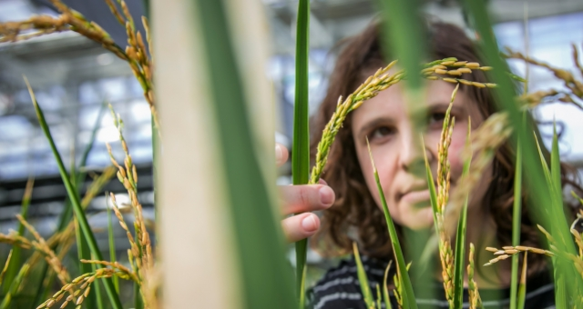 After centuries of plant domestication and breeding, many valuable traits have been eliminated from modern varieties.