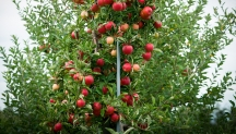 Cornell Research Benefits the Hard Cider Industry